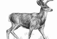 geyik 225x155 - Geyik