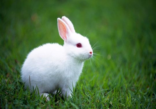 tavsan 540x378 - Tavşan