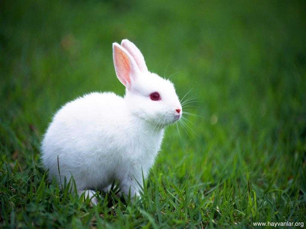 tavsan - Tavşan