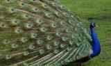 tavuskuşu 160x95 - Tavus Kuşu