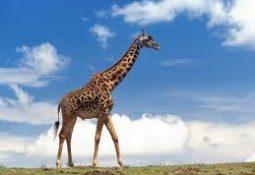 zürafa 255x175 - Zürafa