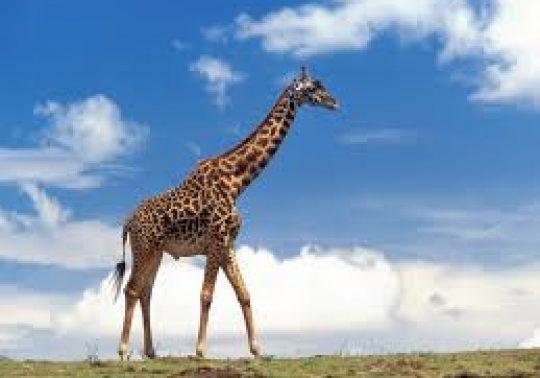 zürafa 540x378 - Zürafa