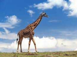 zürafa - Zürafa
