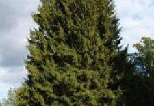 am ağacı 225x155 - Çam Ağacı