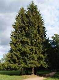am ağacı - Çam Ağacı