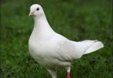 güvercin 225x155 - Güvercin