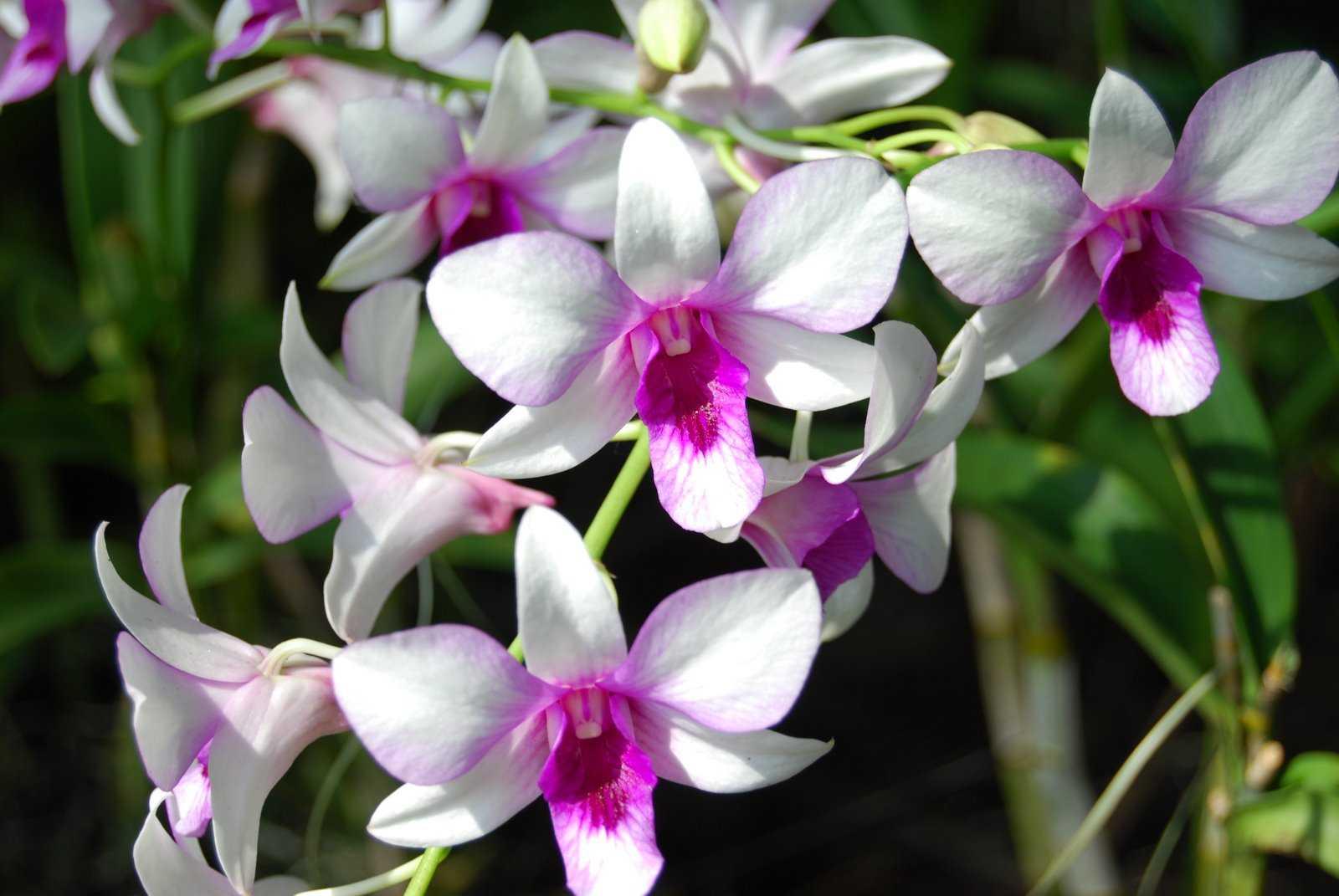 orkide - Orkide