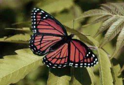 kelebek1 255x175 - Kelebek Falı