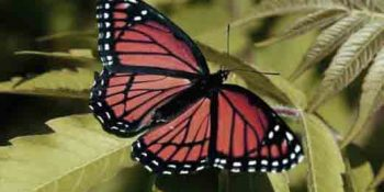 kelebek1 350x175 - Kelebek Falı