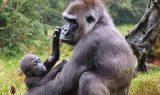 goril 160x95 - Goril