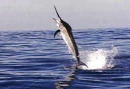 713 255x175 - Kılıç Balığı