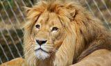 aslan kafasi 160x95 - Aslan Kafası