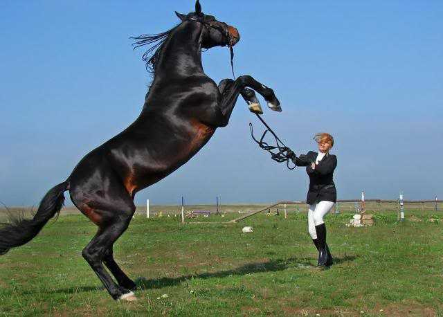 sahlanmis at - Şahlanmış At
