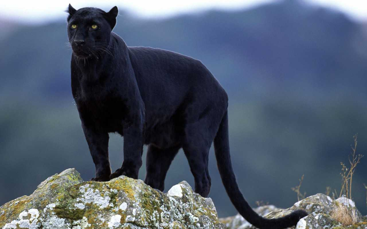 Black Panther animals 13128434 1280 800 e1429294414992 - Panter