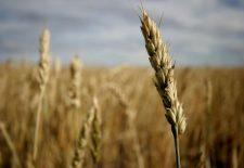 buğday falı1 225x155 - Buğday Başağı