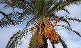 date palm 223250 640 160x95 - Hurma Ağacı