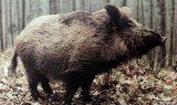 yaban domuzu 160x95 - Yaban Domuzu