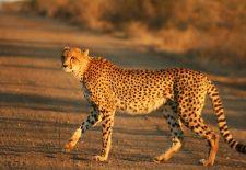 Cheetah Kruger 225x155 - Çita