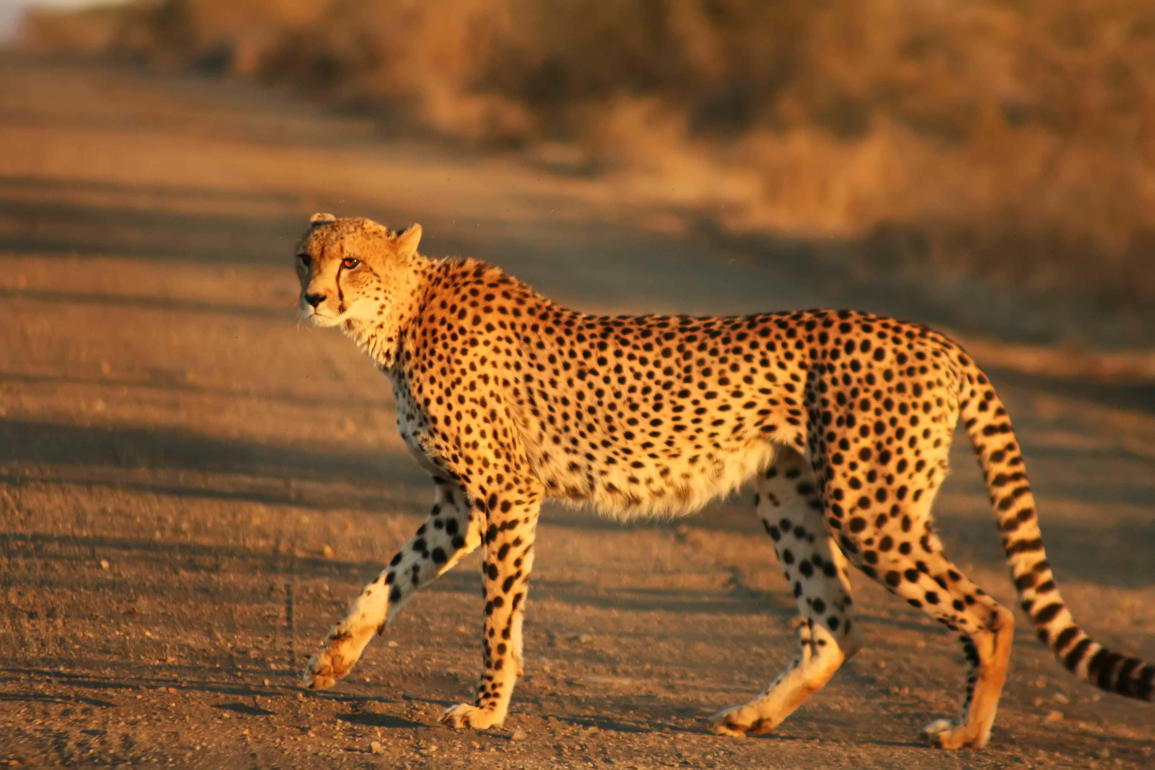 Cheetah Kruger - Çita