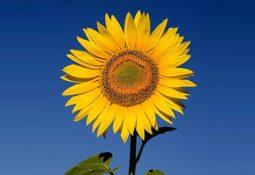aycicegi yetistiriciligi hastaliklari ve zararlilari4 255x175 - Ay Çiçeği
