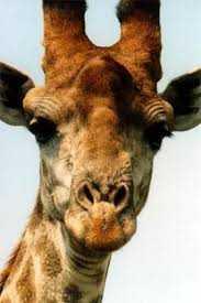 images1 - Zürafa Kafası