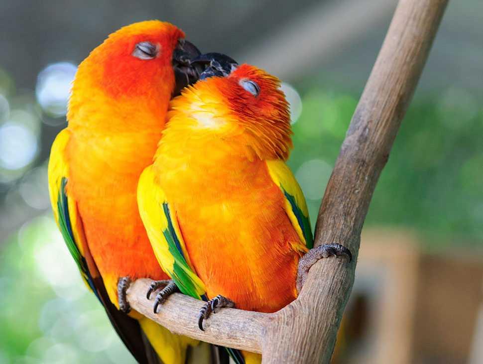 o1 - Kuşların Öpüşmesi