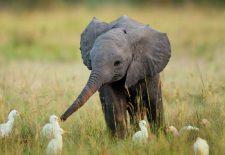 rüyada fil yavrusu görmek 225x155 - Fil Yavrusu