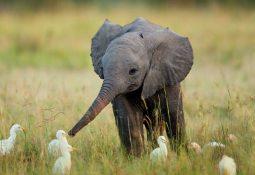 rüyada fil yavrusu görmek 255x175 - Fil Yavrusu