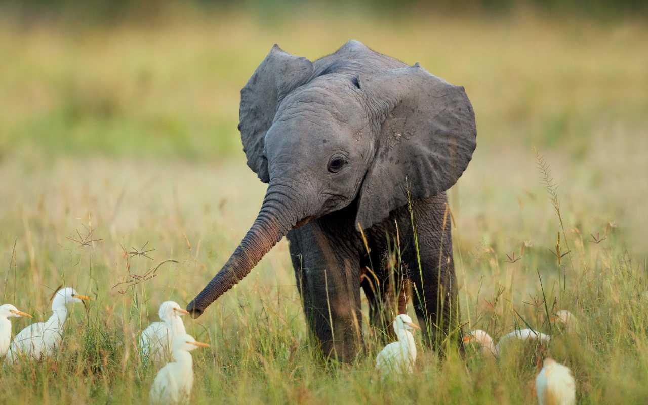 rüyada fil yavrusu görmek - Fil Yavrusu