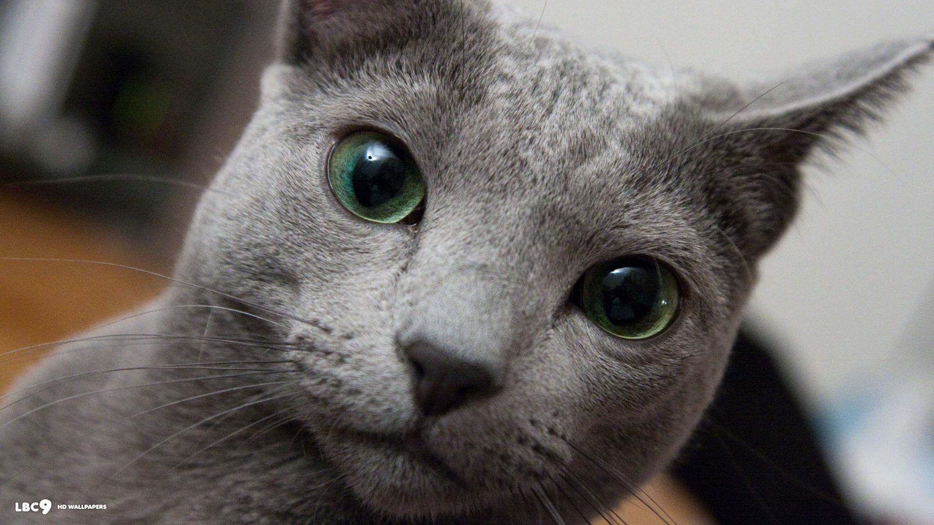 russian blue cat - HD1698×1080
