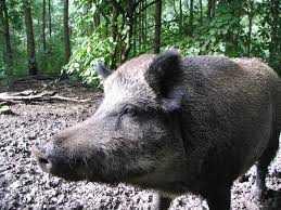 yaban domuzu - Yaban Domuzu