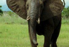 African Bush Elephant Mikumi cropped 225x155 - Fil