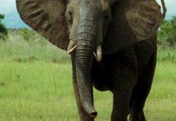 African Bush Elephant Mikumi cropped 255x175 - Fil