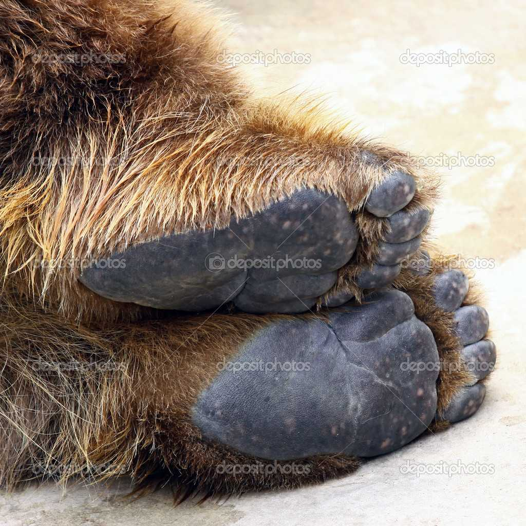 depositphotos 6248153 stock photo bear feet - Ayı Ayağı
