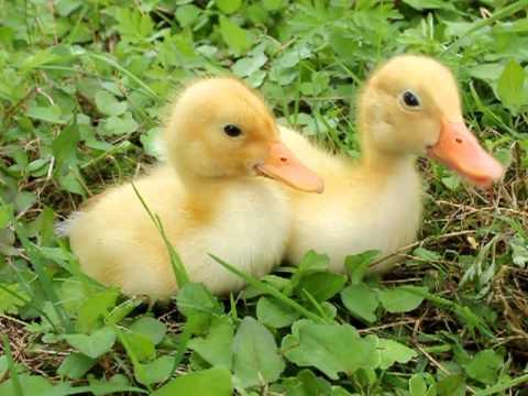 hqdefault - Ördek ve Yavrular