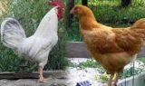 indir 2 160x95 - Tavuk ve Horoz
