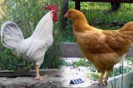 indir 2 - Tavuk ve Horoz