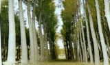 kavak resimleri 160x95 - Kavak ağacı