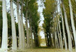 kavak resimleri 255x175 - Kavak ağacı