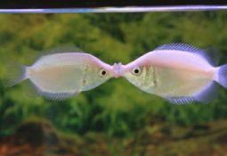 timthumb 5 255x175 - Öpüşen balık