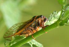 kahve falinda agustos bocegi gormek 225x155 - Ağustos Böceği