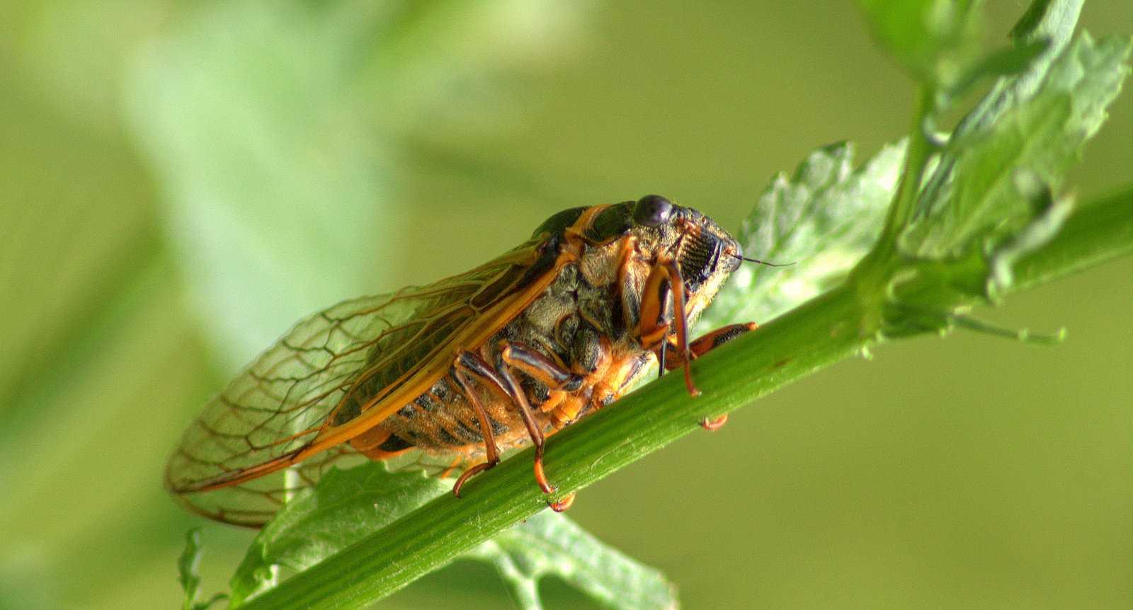 kahve falinda agustos bocegi gormek - Ağustos Böceği