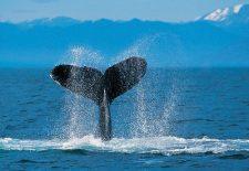 kahve falinda balina kuyrugu gormek 225x155 - Balina Kuyruğu