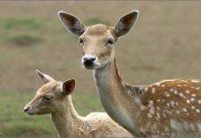 kahve falinda geyik ve yavrusu gormek 225x155 - Geyik ve Yavrusu