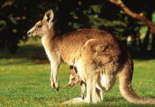 kahve falinda kangru yavrusu gormek 225x155 - Kanguru Yavrusu