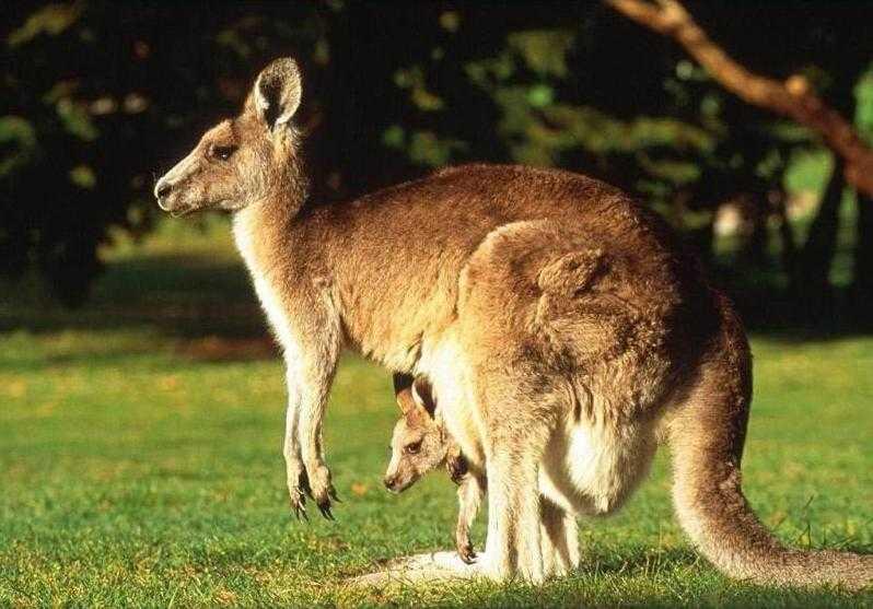 kahve falinda kangru yavrusu gormek - Kanguru Yavrusu