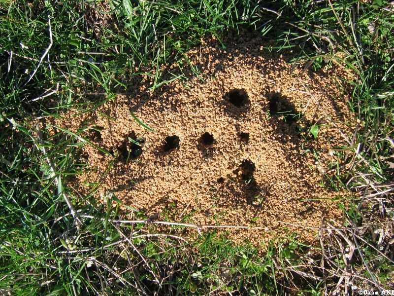 kahve falinda karinca yuvasi gormek - Karınca Yuvası