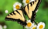 kahve falinda kelebek kanadi gormek 160x95 - Kelebek Kanadı