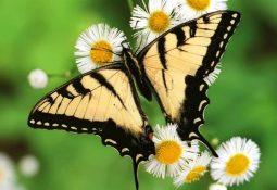 kahve falinda kelebek kanadi gormek 255x175 - Kelebek Kanadı