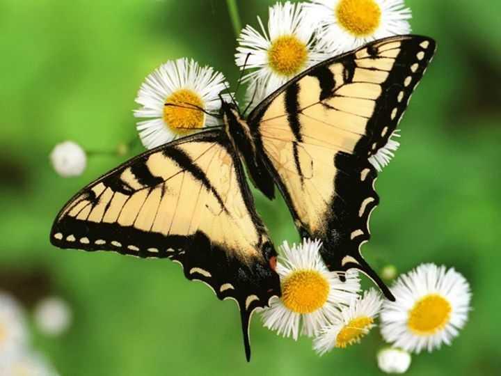 kahve falinda kelebek kanadi gormek - Kelebek Kanadı